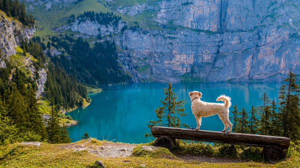 dog in the scenic outdoors overlooking a lake campsite