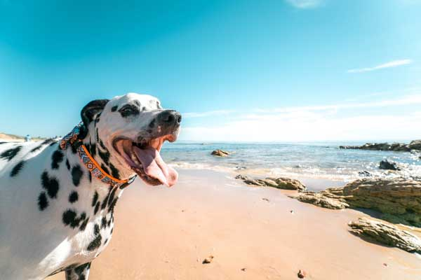 dalmation camping with dogs on a beach