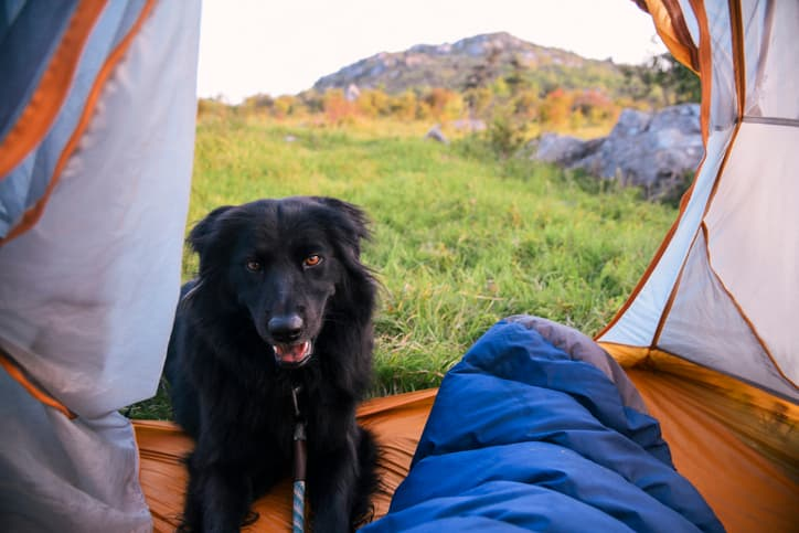 a young puppy loving one of the better tents we reviewed for camping with dogs
