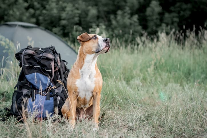 cute pitbull sitting outdoors next to a camping backpack