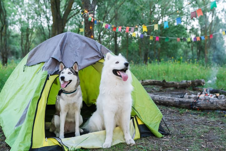 two huskies checking out a tent we reviewed