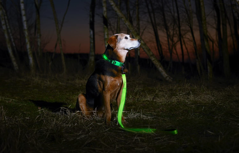 green LED dog collar and leash on a brown dog in the woods on a camping site