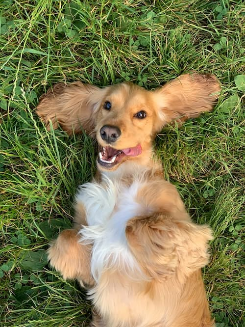 dog in grass laying back